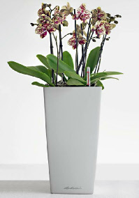 Orchid in Lechuza planter